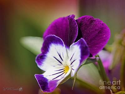 Viola Named Sorbet Blackberry Cream Art Print by J McCombie