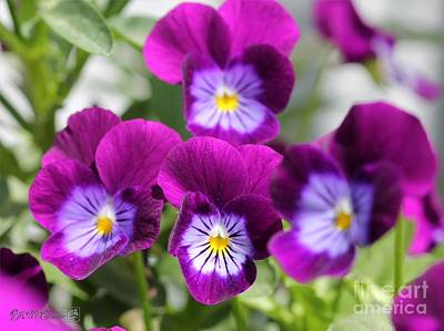 Johnny Jump Up Pansy Photograph - Viola Named Sorbet Plum Velvet Jump-up by J McCombie