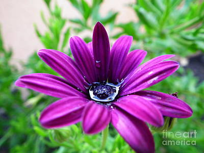 Photograph - Violet Daisy by Stefano Piccini