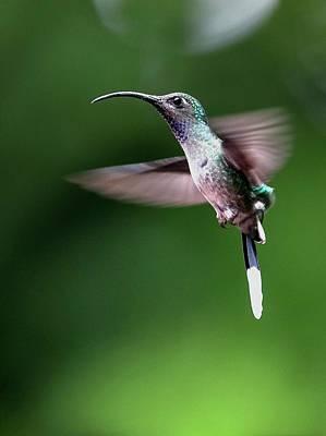 Violet Sabrewing Hummingbird Art Print by Nicolas Reusens
