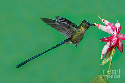 Violet-tailed Sylph Art Print by Anthony Mercieca