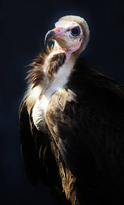 Vulture Art Print by Paulette Thomas