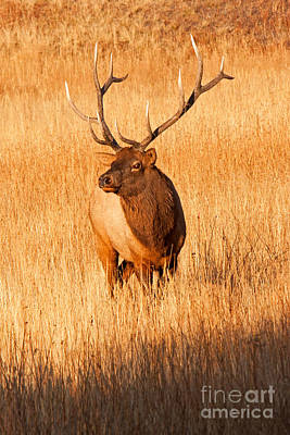 Photograph - Wapiti Elk Bull In Yellowstone National Park by Fred Stearns