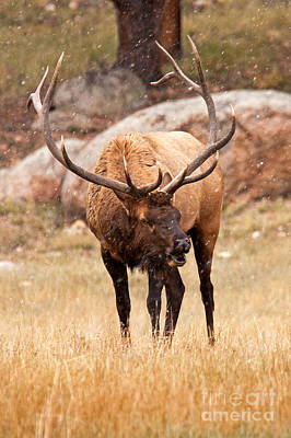 Photograph - Wapiti Elk In Rocky Mountain National Park by Fred Stearns