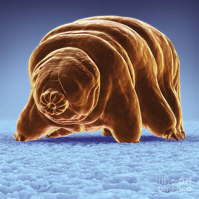 Photograph - Water Bear Tardigrades by Science Picture Co