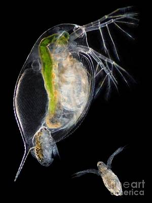Daphnia Photograph - Water Flea Giving Birth by Laguna Design