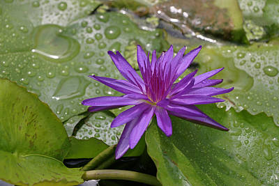 Photograph - Water Lily 15 by Allen Beatty