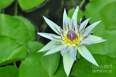 Photograph - Water Lily  3 by Allen Beatty