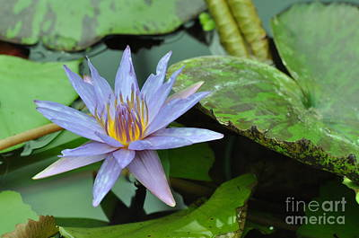 Photograph - Water Lily  5 by Allen Beatty