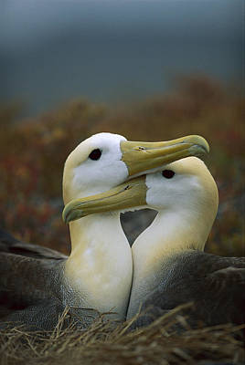 Waved Albatross Pair Bonding Galapagos Art Print by Tui De Roy