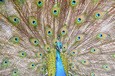 Photograph - Peacock by Crystal Wightman