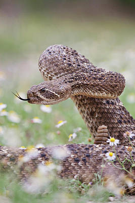 Starr Photograph - Western Diamondback Rattlesnake by Larry Ditto