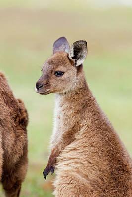 Western Grey Kangaroo (macropus Print by Martin Zwick
