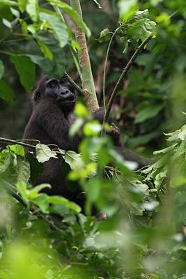 Western Lowland Gorilla, Ngaga, Odzala Art Print by Pete Oxford