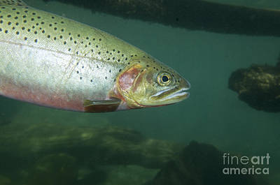 Westslope Cutthroat Trout Art Print by William H. Mullins