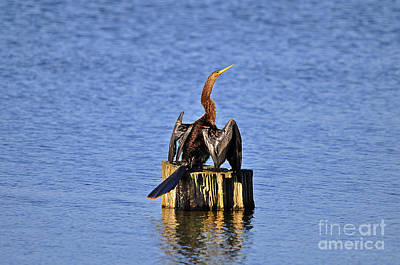 Anhinga Photograph - Wet Wings by Al Powell Photography USA