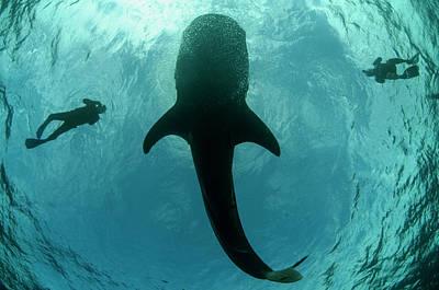 Whale Shark And Tourist Art Print
