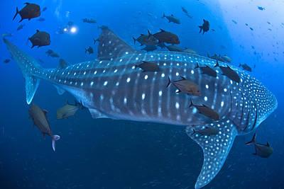 Whale Shark Art Print by David Valencia