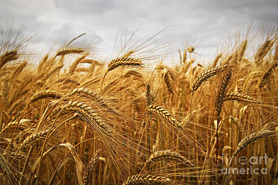 Cultivated Photograph - Wheat by Elena Elisseeva
