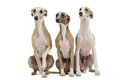 Sighthound Photograph - Whippets by Jean-Michel Labat