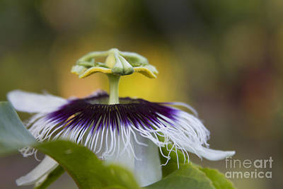 Passiflora Photograph - Whispers Of The Heart by Sharon Mau