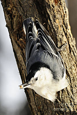 Photograph - White Breasted Nuthatch by Larry Ricker