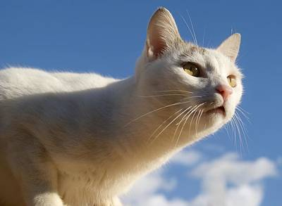 Photograph - White Cat by Blanchi Costela