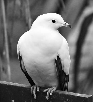 Photograph - White Dove by Al Fritz
