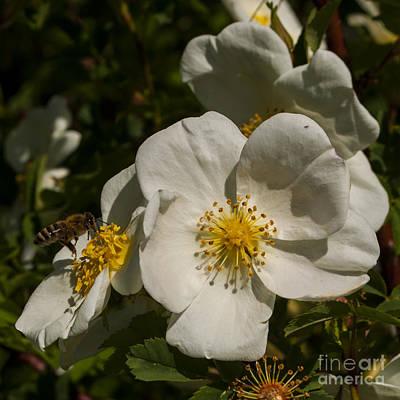 White Flower With Bee Art Print