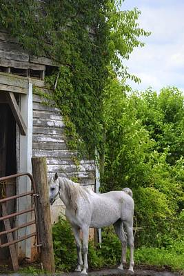 Photograph - White Horse by Amber Summerow