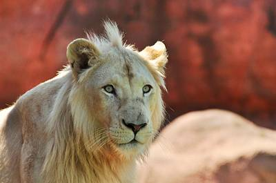 Photograph - White Lion  by Puzzles Shum
