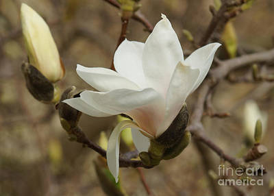 Photograph - White Magnolia by Rudi Prott