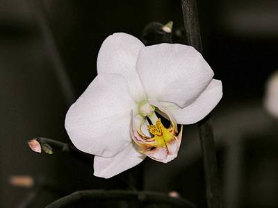Art Print featuring the photograph White Orchid by Sherman Perry