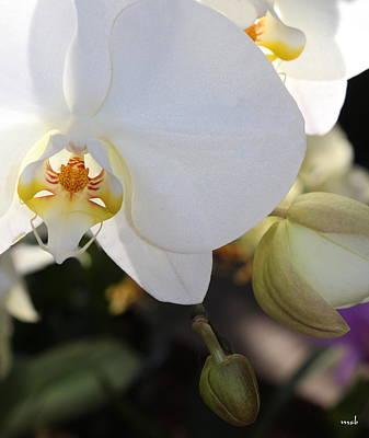 White Orchid Three Art Print by Mark Steven Burhart