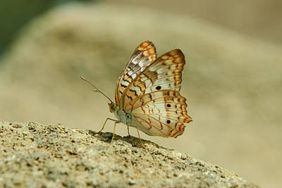 Photograph - White Peacock Butterfly by Tam Ryan
