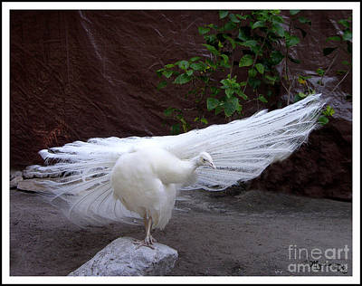 White Peacock Art Print by Mariarosa Rockefeller