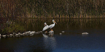 Photograph - White Pelicans by Ernie Echols