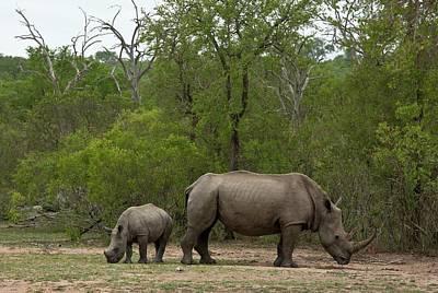 Rhinoceros Photograph - White Rhino And Calf by Bob Gibbons