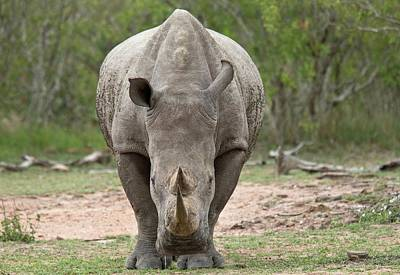White Rhino Art Print by Bob Gibbons
