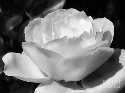 Photograph - White Rose by Amy Williams