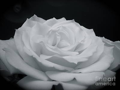White Rose Photograph - White Rose by LoudImage Photography