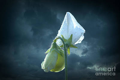 Photograph - White Sweet Pea  by Marjorie Imbeau