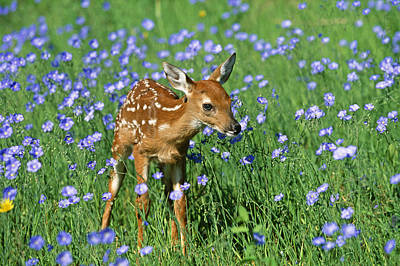 Photograph - White-tailed Deer Fawn by M. Watson