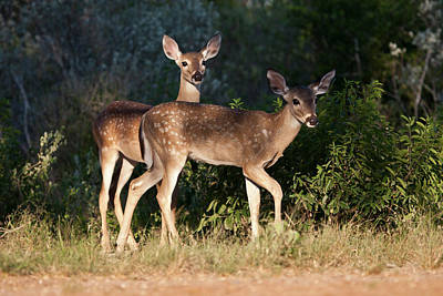 Twin Tailed Photograph - White-tailed Deer (odocoileus by Larry Ditto