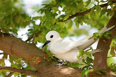 White Terns (gygis Alba Rothschildi Art Print