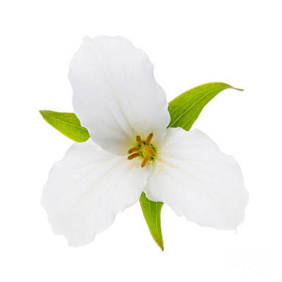 Photograph - White Trillium Flower  by Elena Elisseeva