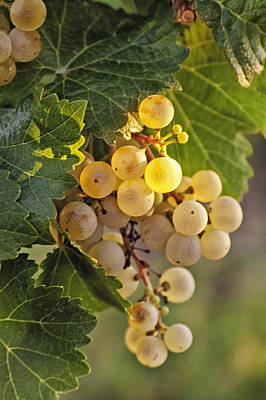 White Wine Grapes Original