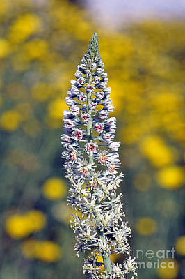 Print featuring the photograph Wild Mignonette Flower by George Atsametakis