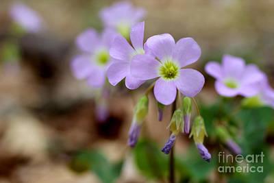 Woodland Violet Photograph - Wild Violet Wood Sorrel by Adam Long
