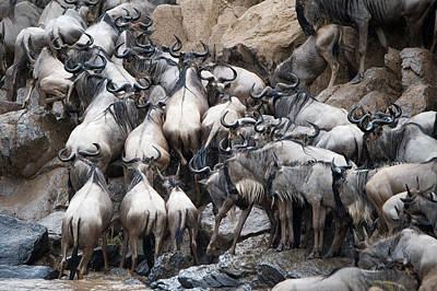 Wildebeests Crossing A River, Mara Art Print by Panoramic Images